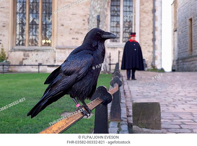 Common Raven (Corvus corax) adult, perched on railing, with Yeomen Warder (Beefeater) standing in background, Tower of London, London, England, January
