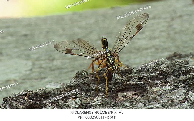 A male Giant Ichneumon (Megarhyssa macrurus) wasp attempts to inseminate a female prior to her emergence in spring from inside a fallen log where she has...