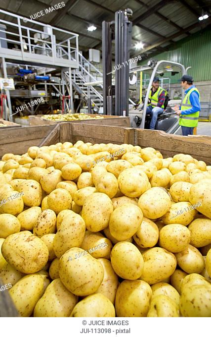 Workers at forklift behind bin of fresh harvested potatoes