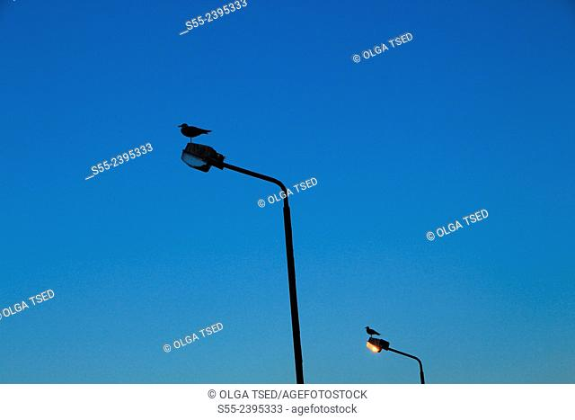 Seagulls on the street lights in the sunset. Ponta Delgada, Sao Miguel Island, Azores, Portugal
