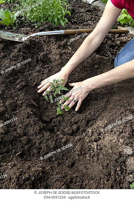 Partial view of a woman's hands piling garden soil around a tomato plant