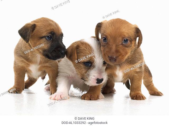 Jack Russell Lakeland Terrier cross, puppies, 5-week-old