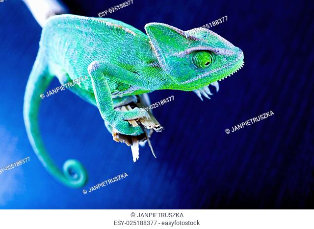 Green chameleon, bright vivid exotic climate