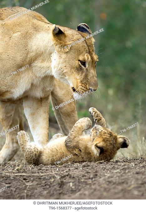 Lioness and cub. Kenya