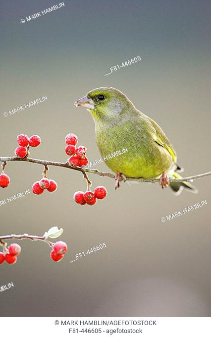 Greenfinch (Carduelis chloris) male perched / feeding on red cotoneaster berries in winter. Scotland, UK