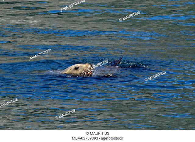 North America, USA, Alaska, Seward, Kenai Fjords National Park, Resurrection Bay, Stellerscher sea lion in the water