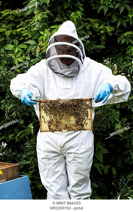 Beekeeper wearing protective suit at work, inspecting wooden beehive
