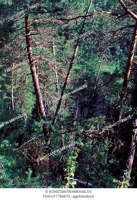 Siberia, flora, forest, forestland, landscape, nature