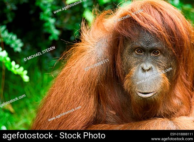 Sumatra Orang Utan ganz nah