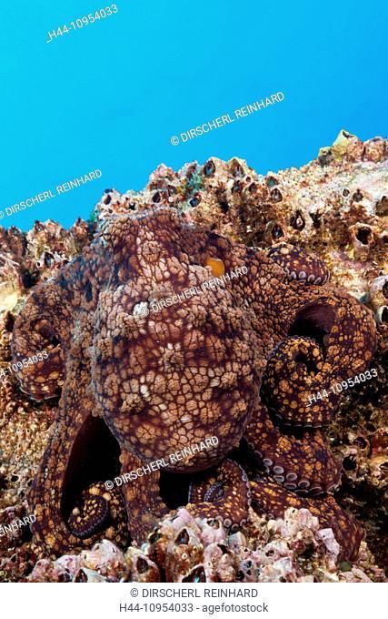 Common Octopus, Octopus vulgaris, Socorro, Revillagigedo, Mexico, marine invertebrates, Common Octopus, Common Octopus, Octopus, Octopodidae, Mollusc, Mollusca