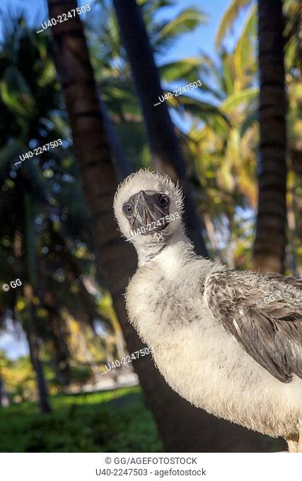 Belize, Half Moon Caye, red-footed boobie