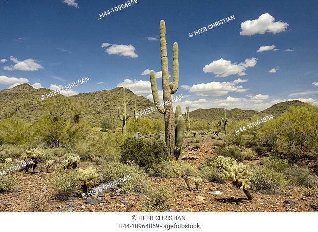 USA, United States, America, Arizona, Scottsdale, Cave Creek, Recreation area, nature, sonoran, desert, Phoenix, cactus, landscape, no people, saguaro, plant