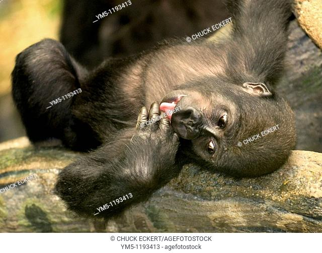 Baby Gorilla laying on log licking cut on finger