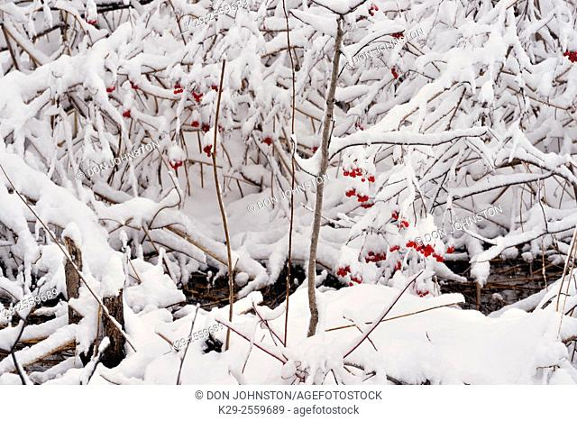 An early winter snowfall along a small creek with high bush cranberry (Viburnum trilobum), Greater Sudbury, Ontario, Canada