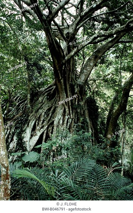 Weeping Fig, Strangling Fig (Ficus microcarpa), single plant in the rain forest, Taiwan