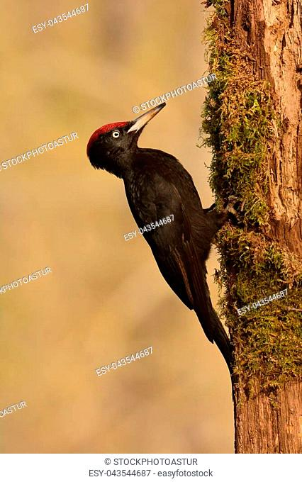 Black woodpecker, Dryocopus martius perched on old dry branch in the middle of forest with grey background