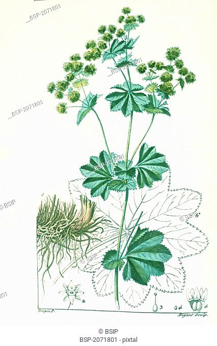 COMMON LADY MANTLE