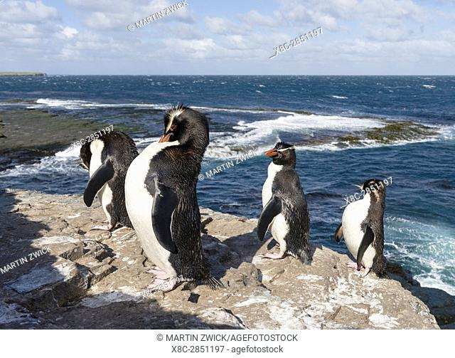 Rockhopper Penguin (Eudyptes chrysocome), subspecies western rockhopper penguin (Eudyptes chrysocome chrysocome). Hopping up and down the cliffs