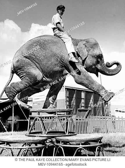 A boy sitting on the back of an elephant named Monica, who is balancing on one leg. They belong to Sir Robert Fossett's Circus