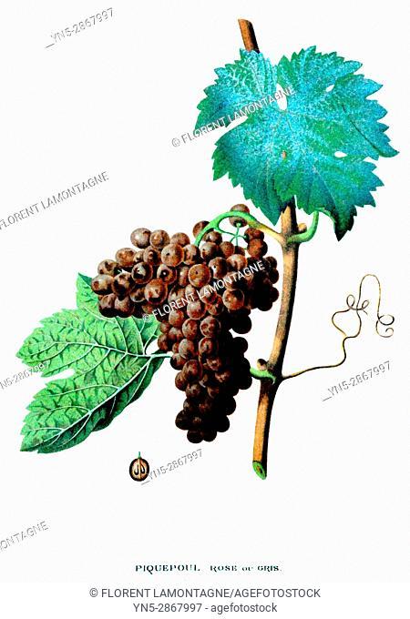 Old botanical board of the grappe species Piquepoul, rose du gris