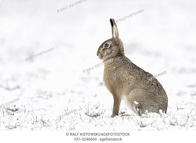 Brown Hare / European Hare / Feldhase ( Lepus europaeus ) in winter, sitting in snow, snowfall, watching attentively, side view, wildlife, Europe