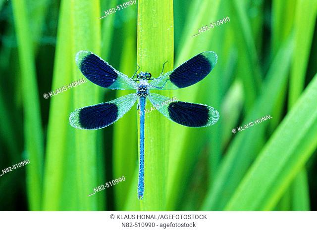 Banded Demoiselle male (Calopteryx splendens) with open wings in dew
