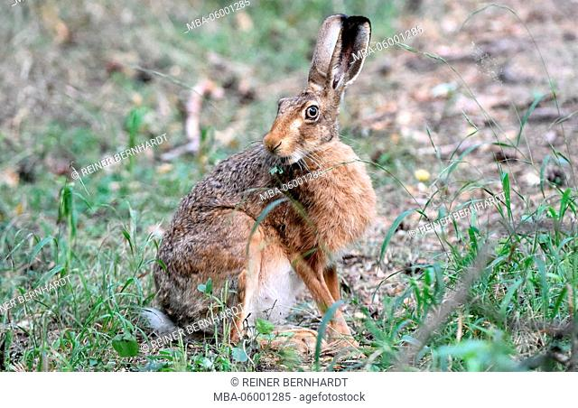 Hare, brown hare