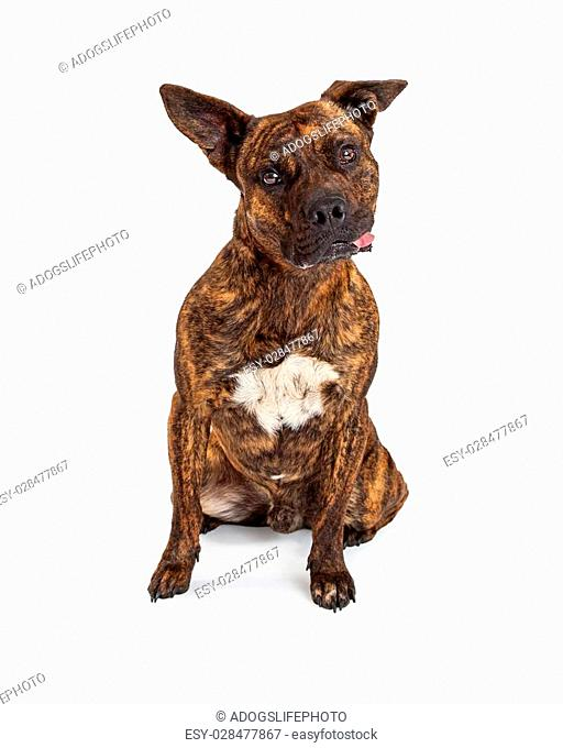 A very curious Staffordshire Terrier And Boxer Mixed Breed Dog with a funny expression with tilted head and ears at different angles