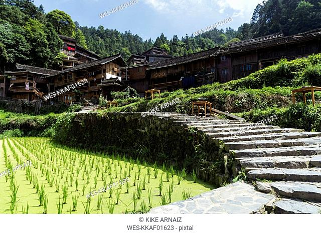 China, Guizhou, Miao rice plantation