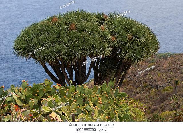 Canary Islands Dragon Tree (Dracaena draco) and Indian Fig Opuntia (Opuntia ficus-indica), El Tablado, La Palma, Canary Islands, Spain, Europe