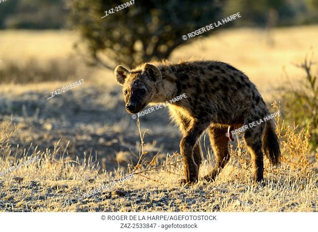 Spotted hyena, also known as the laughing hyena (Crocuta crocuta) marking territory. Territories are marked by â. . pastingâ
