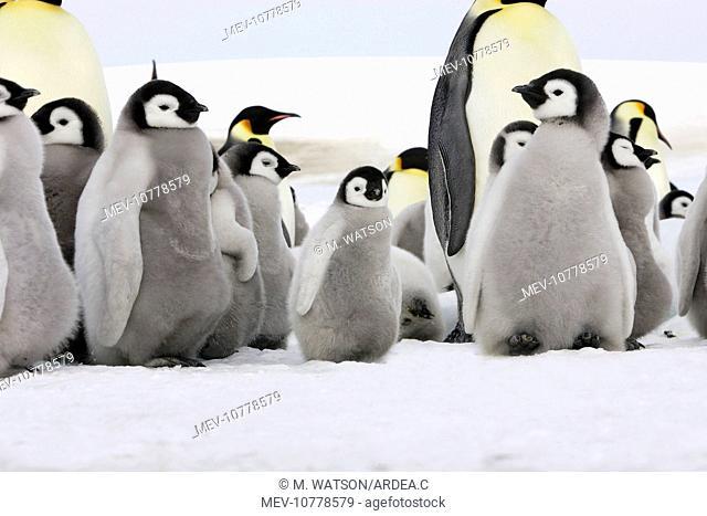 Emperor Penguin - adults and chicks (Aptenodytes forsteri)