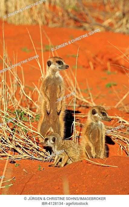 Meerkats (Suricata suricatta), group with young at the den warming up in the morning sun, Tswalu Game Reserve, Kalahari Desert, North Cape, South Africa