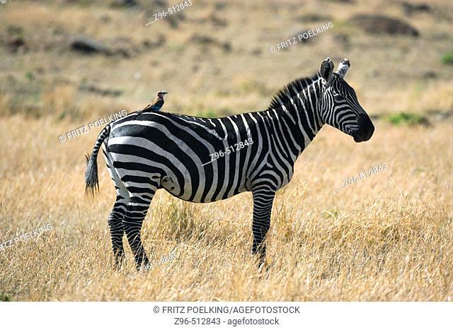 Zebra. Masai Mara. Kenya