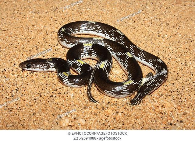 Barred Wolf Snake Lycodon striatus Mudhumallai Tiger Reserve, Tamil Nadu