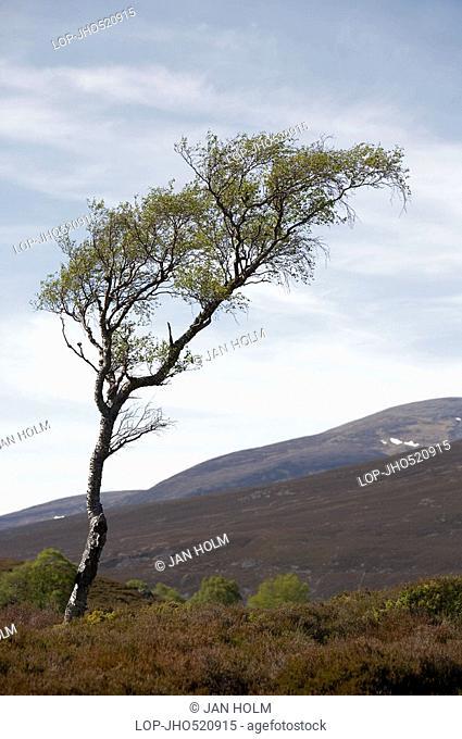 Scotland, Aberdeenshire, Cairngorms, A Dwarf Birch in the Eastern Highlands of Scotland