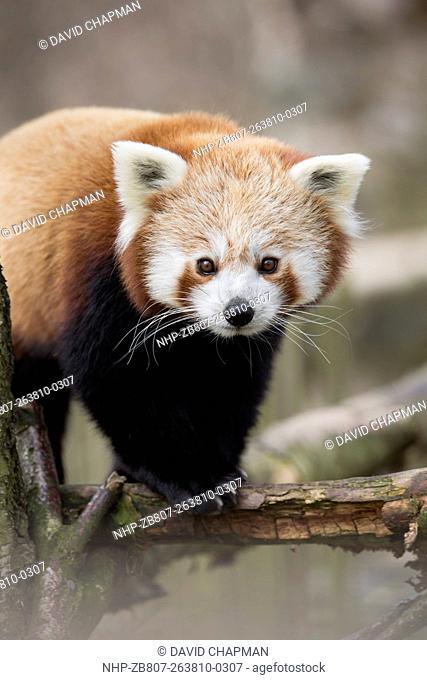 Red Panda; Ailurus fulgens; Captive; UK