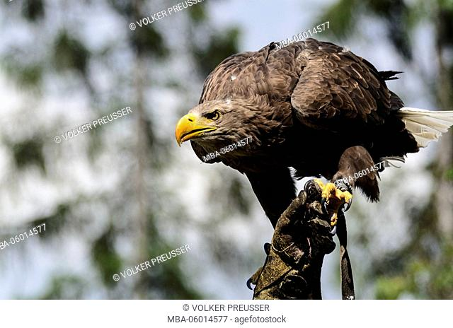 Sea eagle (Haliaeetus albicilla) on the hand of a falconer by a flight showing in the falconry and bird of prey centre of the Austrian falconer's bundle on...
