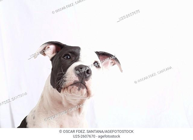 Dog, American Staffordshire Terrier