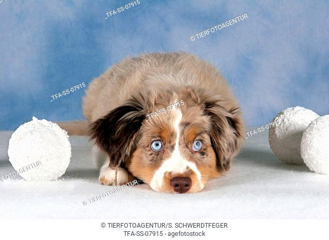 young Miniature Australian Shepherd