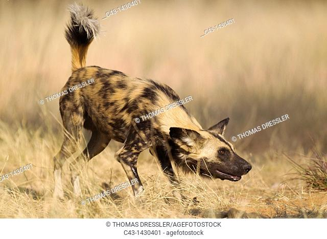 African Wild Dog Lycaon pictus - This captive animal is fed and show the same aggressive behaviour at the feeding place as it would do in the wild when...