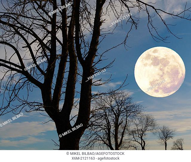 Tree silhouettes and moon. Alava. Basque Country. Spain, Europe