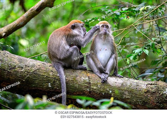 Monkey in the jungle in Bukit Lawang, Sumatra, Indonesia