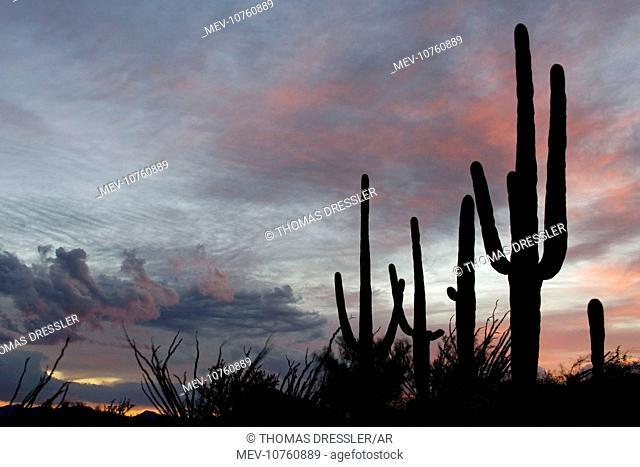 Giant Saguaro - Symbol of the American Southwest and indicator of the Sonoran Desert. At dusk. (Carnegiea gigantea)