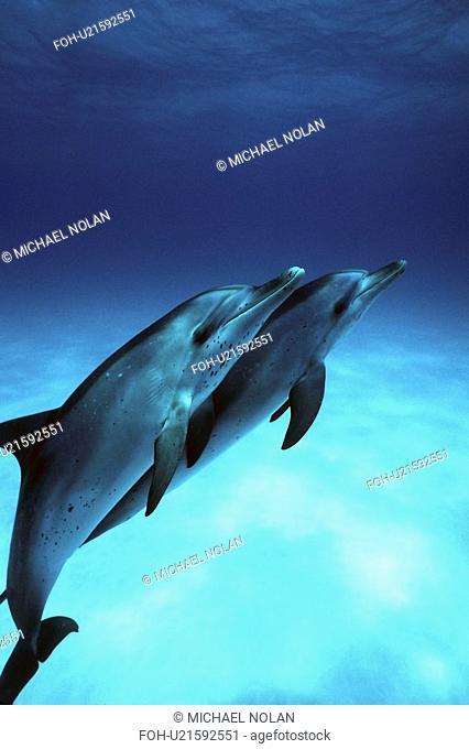 Atlantic Spotted Dolphin Stenella frontalis calves underwater. Little Bahama Banks, Grand Bahama Island, Bahamas. rr