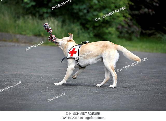 Labrador Retriever (Canis lupus f. familiaris), playing with a cord while being trained as a rescue dog