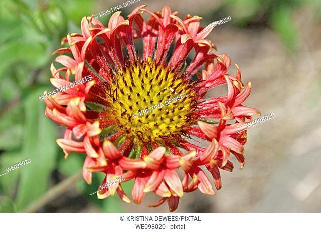 A fancy hybrid Gaillardia bloom