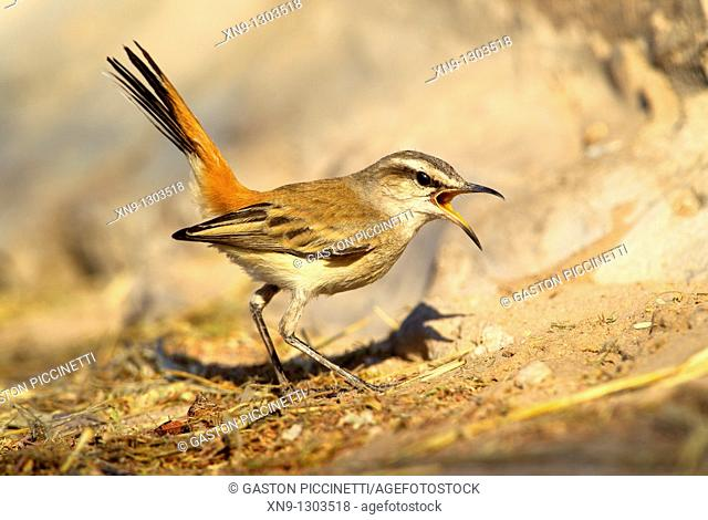 Kalahari Scrub-robin (Cercotrichas paena), Mabuasehube, Kgalagadi Transfrontier Park, Kalahari desert, Botswana