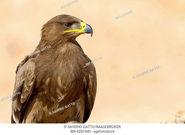 Steppe Eagle (Aquila nipalensis), portrait, Salalah, Dhofar, Oman