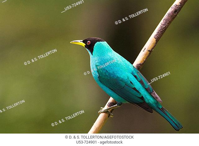 Green Honeycreeper, Chlorophanes spiza, male